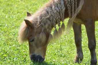 Shetland-ponny