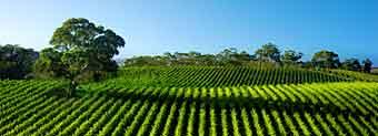 виноградники з коньяком